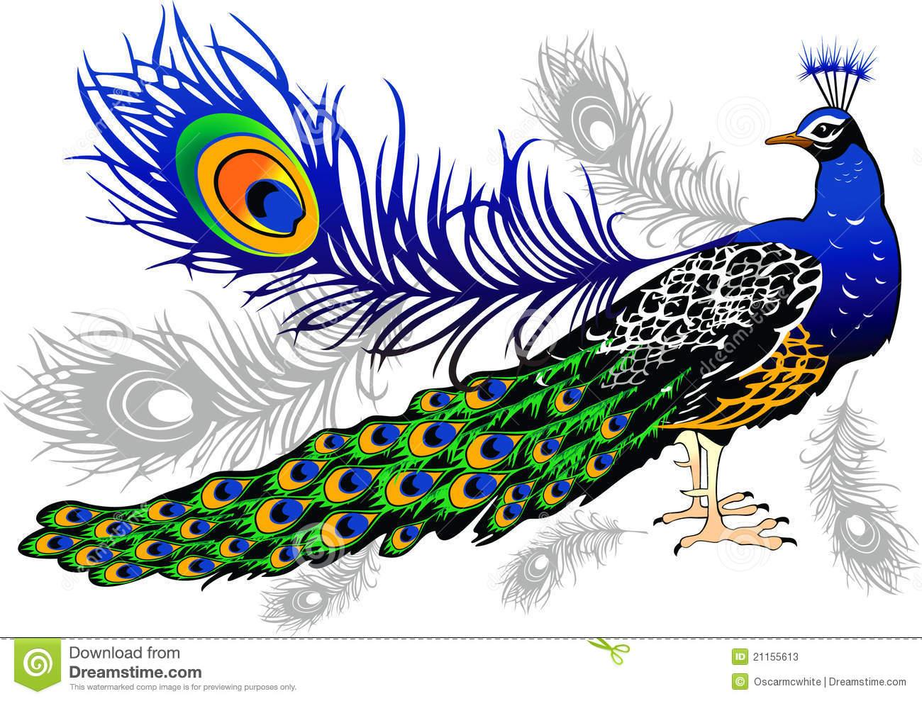 Peacock Stock Photos.