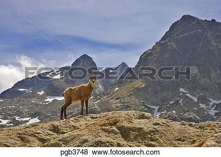 Pictures of Parc National du Mercantour. Chamois. Rupicapra.