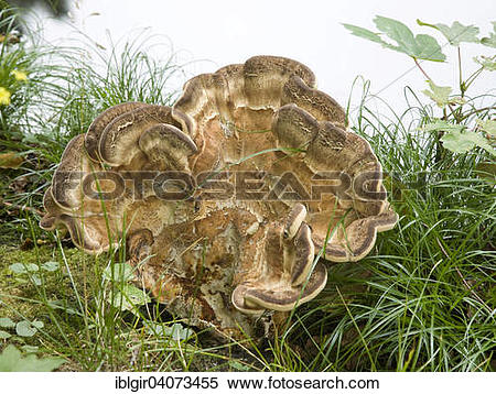 Stock Image of Giant Polypore or Black.