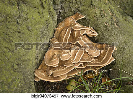 Picture of Giant Polypore or Black.