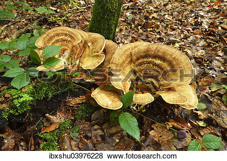 "Pictures of ""Giant Polypore (Meripilus giganteus), Switzerland."