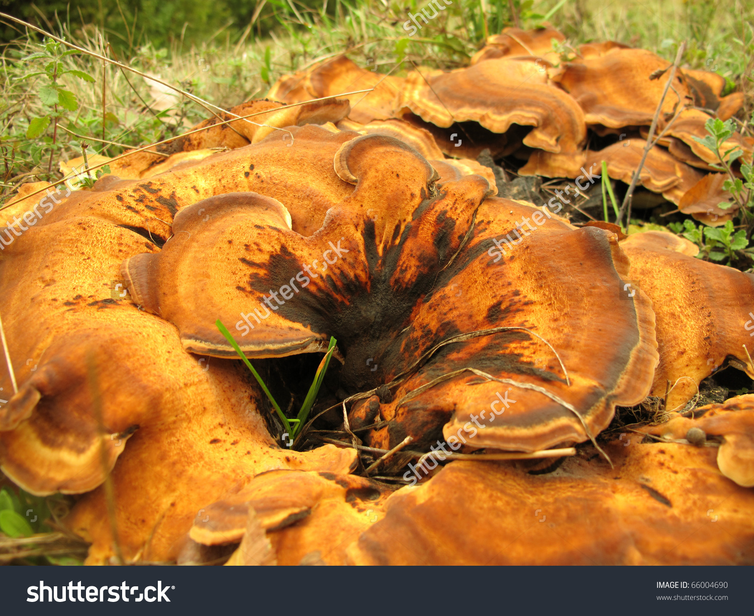 Meripilus Giganteus Giant Polypore Mushroom Stock Photo 66004690.