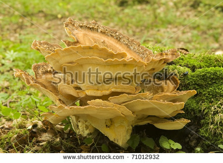 Giganteus Stock Photos, Royalty.