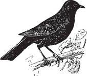 Blackbird Clip Art.