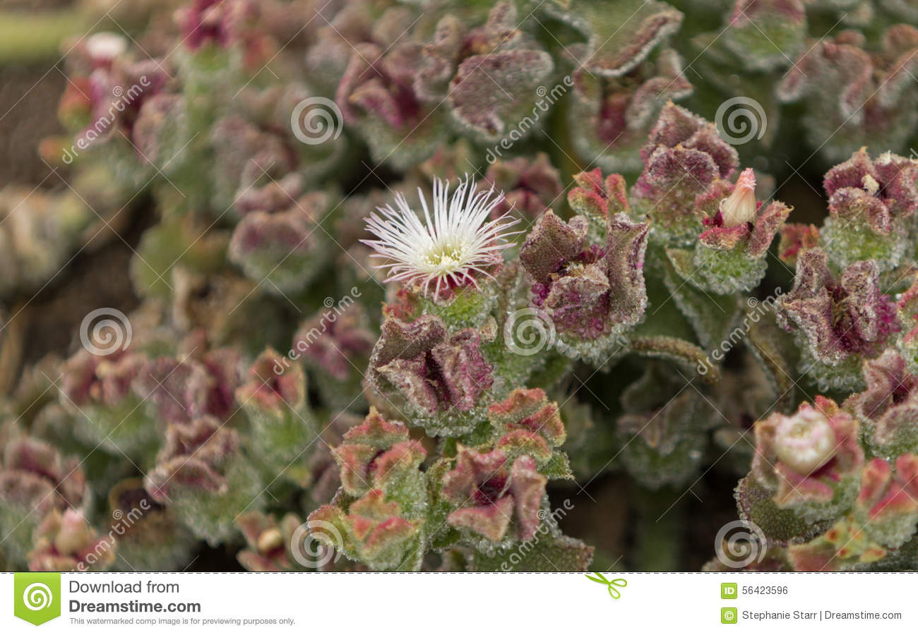 Mesembryanthemum Crystallinum, Crystalline Ice Plant Stock Photo.