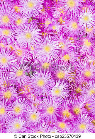 Stock Photos of Pink ice plant, mesembryanthemum, flowers close up.