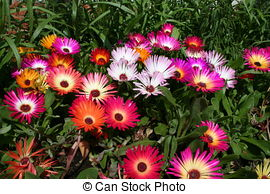 Mesembryanthemum Images and Stock Photos. 58 Mesembryanthemum.