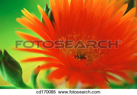 Stock Image of Livingstone Daisy (Mesembryanthemum sp.) cd170085.