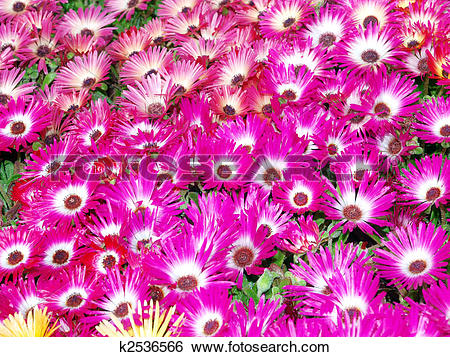 Stock Images of Livingstone Daisies (Mesembryanthemum criniflorum.