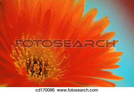 Stock Images of Livingstone Daisy (Mesembryanthemum sp.) cd170086.