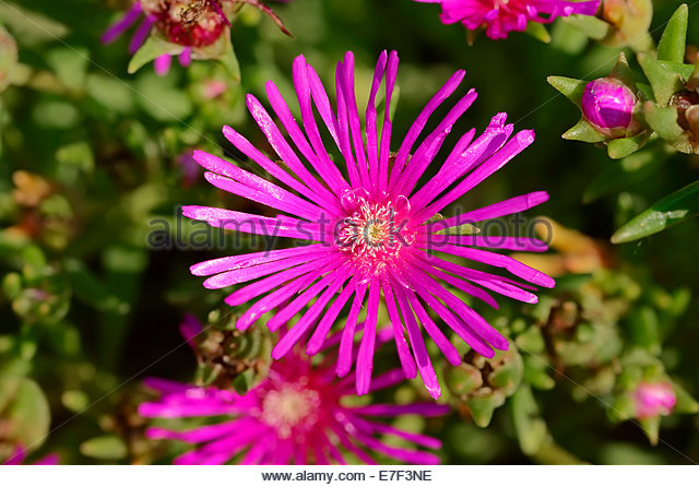 Mesembryanthemum Flower Pink Stock Photos & Mesembryanthemum.