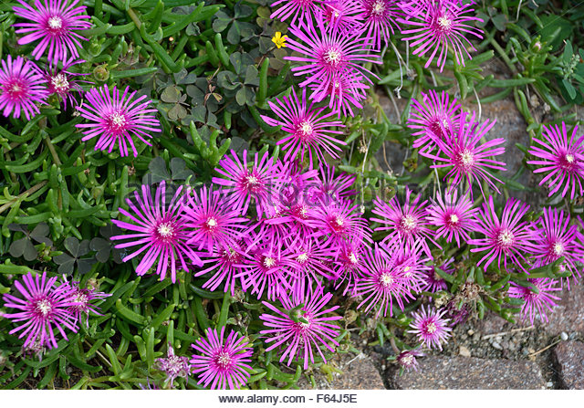 Purple Mesembryanthemum Stock Photos & Purple Mesembryanthemum.