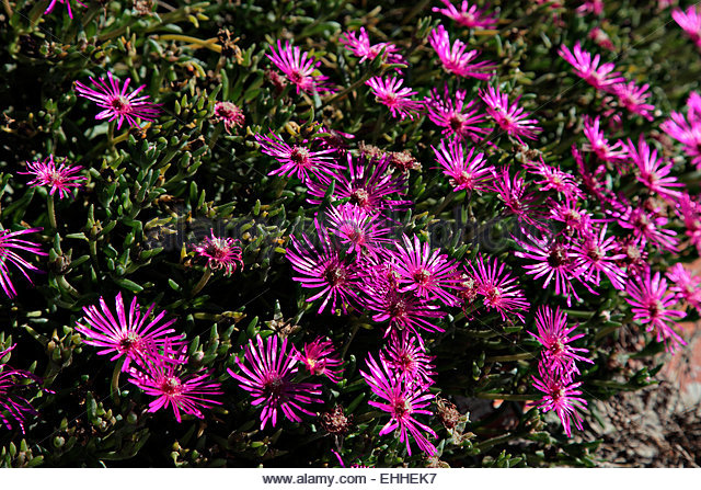 Mesembryanthemum Stock Photos & Mesembryanthemum Stock Images.