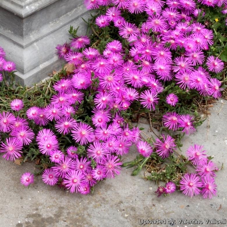 Mesembryanthemum cooperi.