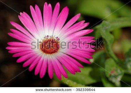 Mesembryanthemum Stockfoto's, rechtenvrije afbeeldingen en.