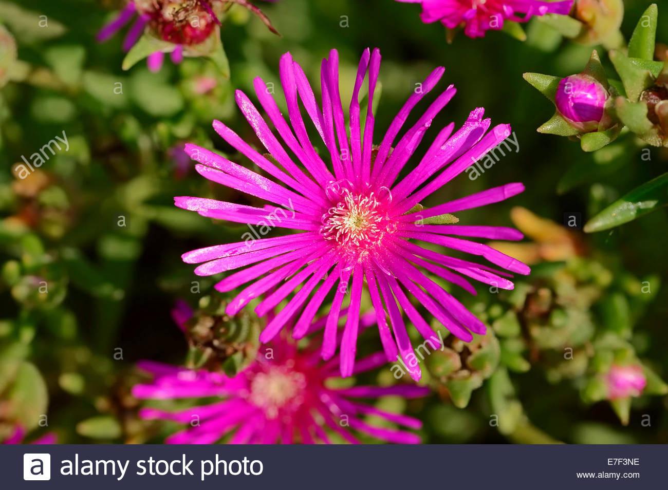 Hardy Pink Ice Plant (delosperma Cooperi, Mesembryanthemum Cooperi.