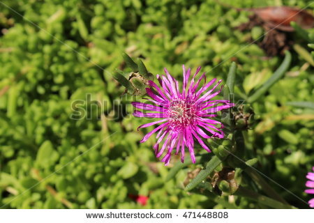 Mesembryanthemum Stock Photos, Royalty.