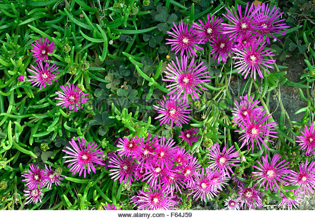 Mesembryanthemum Flower Stock Photos & Mesembryanthemum Flower.