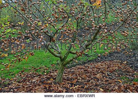Botany, Medlar, (mespilus Germanica), Fruits, At Branch, Yellow.