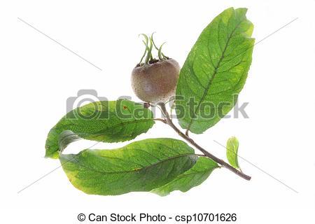 Stock Photo of Common medlar (Mespilus germanica).
