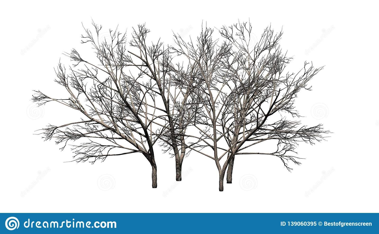 Mesquite Trees Stock Illustrations.