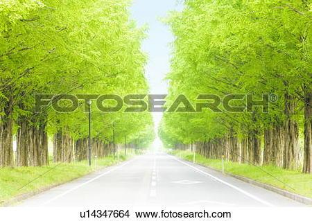Stock Photo of Metasequoia trees lining street, Takashima, Shiga.
