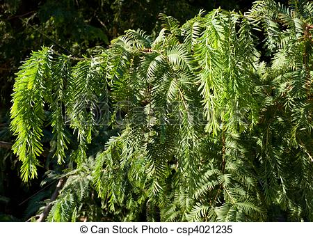 Stock Images of Dawn Redwood.