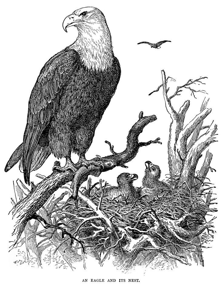 1000+ images about eagles on Pinterest.