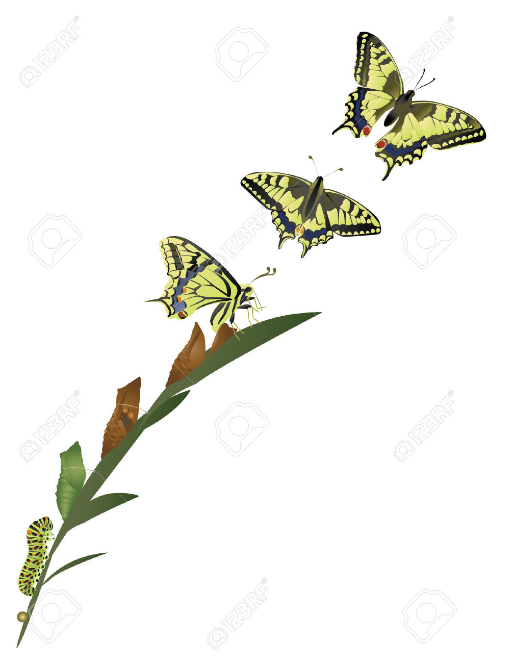 Butterfly metamorphosis clipart.