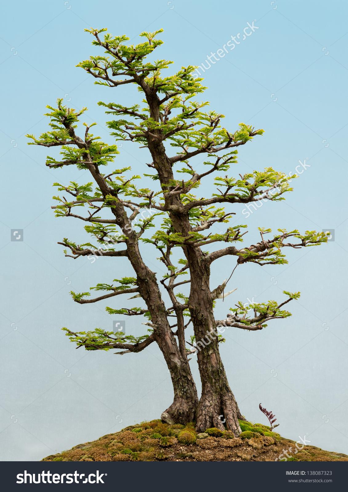 Dawn Redwood Metasequoia Glyptostroboides Bonsai Tree Stock Photo.