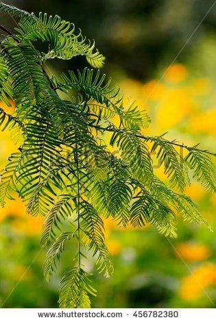 Metasequoia Glyptostroboides Stock fotos, billeder til fri.