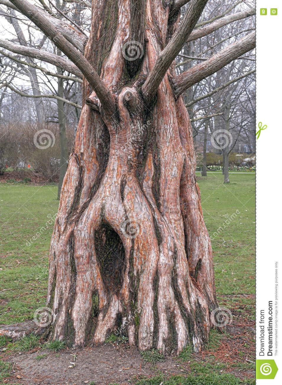 Trunk Of Dawn Redwood (Metasequoia Glyptostroboides) Stock Photo.