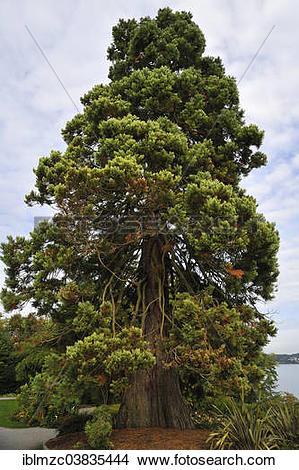 """Stock Photo of """"Dawn Redwood (Metasequoia glyptostroboides."""
