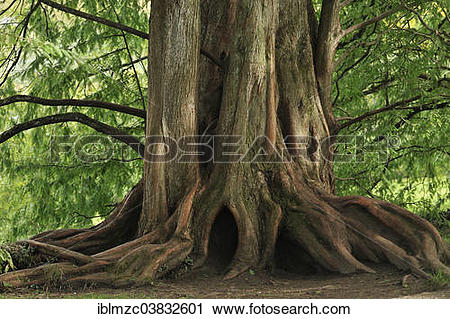 "Stock Photography of ""Lower trunk of a Dawn Redwood (Metasequoia."