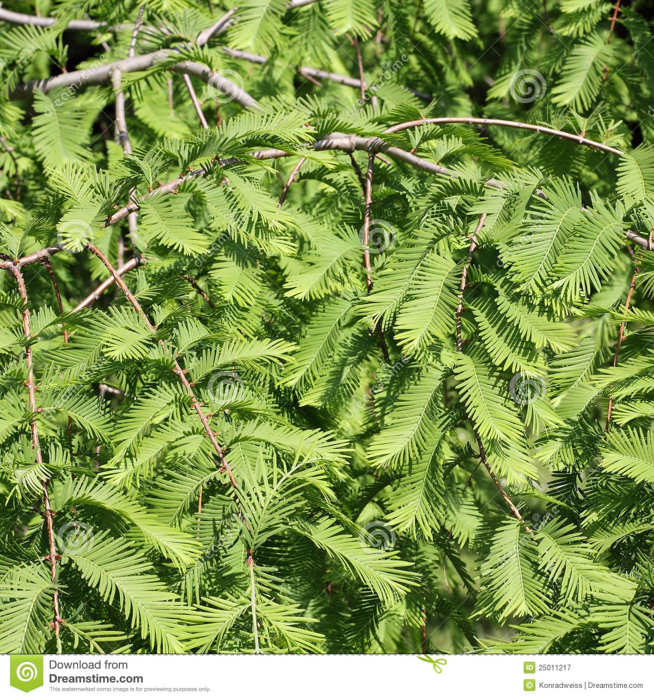 Dawn Redwood, Metasequoia Glyptostroboides Royalty Free Stock.