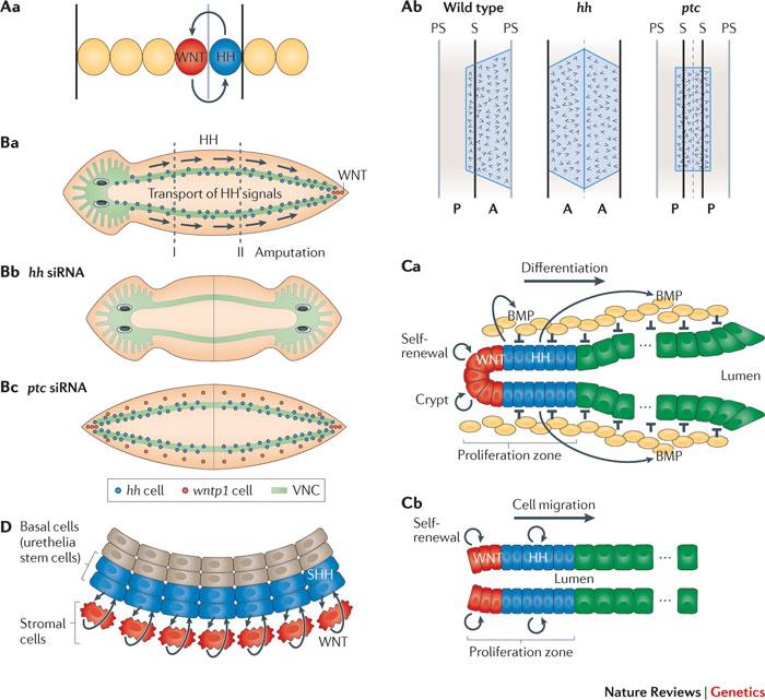 Figure 5 : Mechanisms and functions of Hedgehog signalling across.
