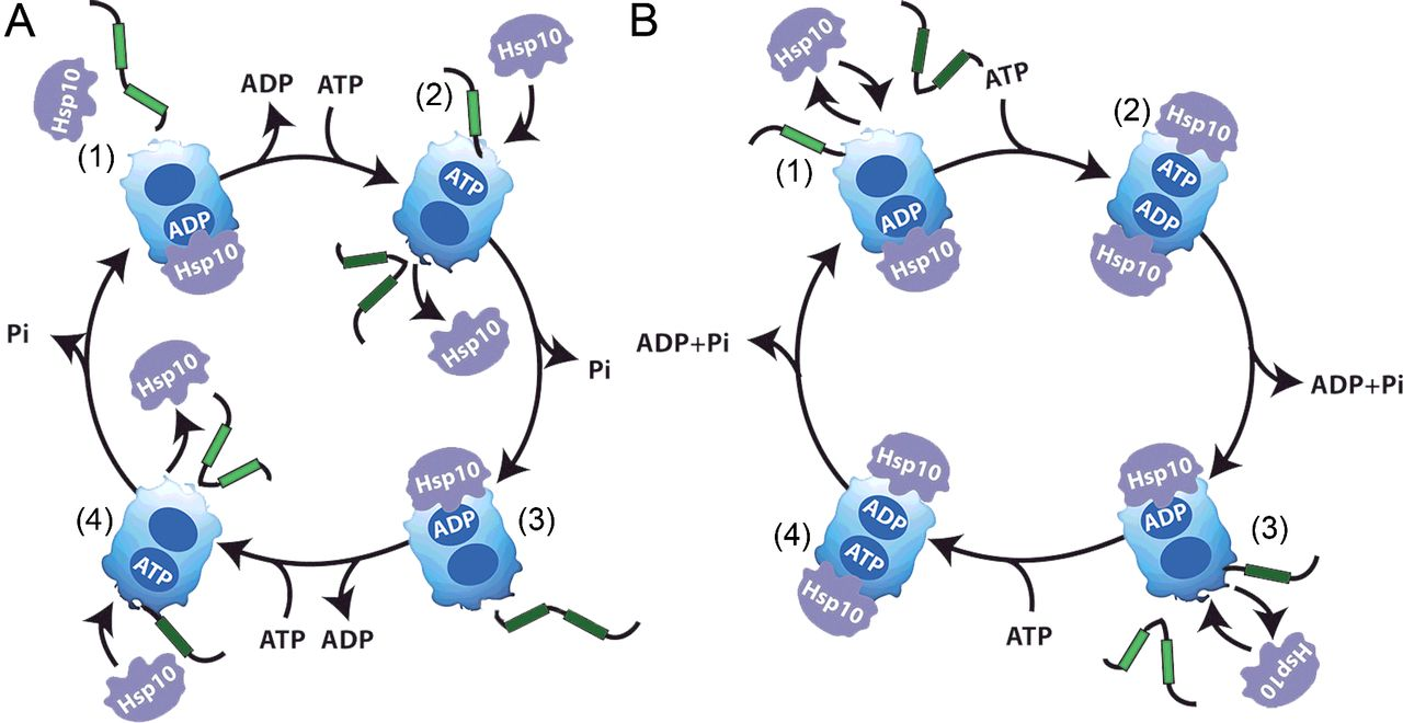 Chaperone families and interactions in metazoa.