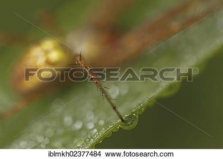 """Stock Photo of """"Leg of an Autumn spider (Metellina segmentata."""