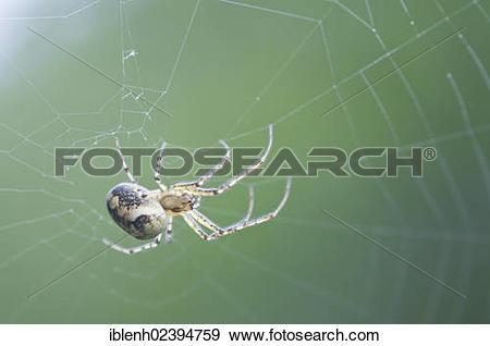 """Stock Photograph of """"Autumn spider (Metellina segmentata), Haren."""