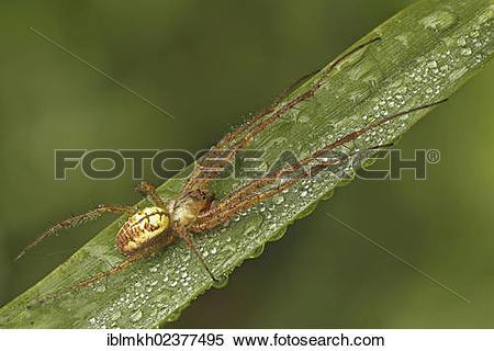 "Stock Image of ""Autumn spider (Metellina segmentata), Bad Hersfeld."