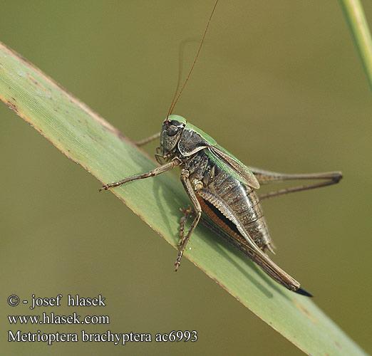 brachyptera Bog Bush cricket Kurzflügelige Beißschrecke Decticelle.