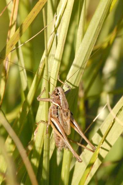 Metrioptera brachyptera.