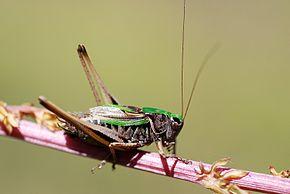 Metrioptera brachyptera — Wikipédia.