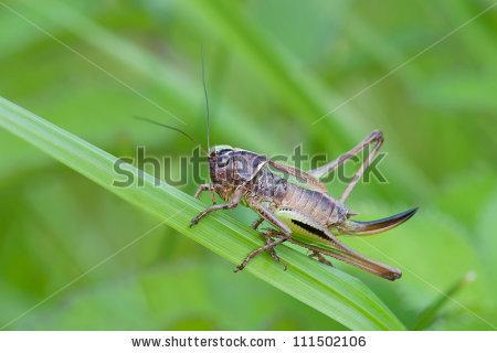 Cricket Animal Cricket Stock Photos, Royalty.