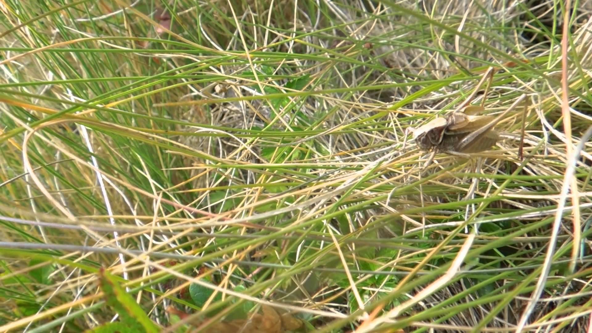 Metrioptera brachyptera 2013 8 23 Millstätter Alpe.