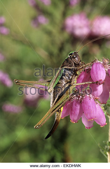 Cricket Insect Not Grasshopper Stock Photos & Cricket Insect Not.