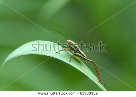 Metrioptera Stock Photos, Images, & Pictures.