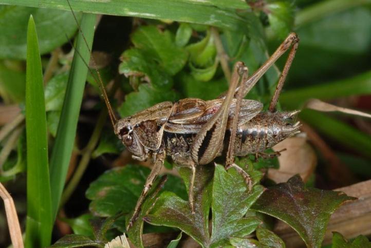 European locusts and their ecology: Metrioptera brachyptera.