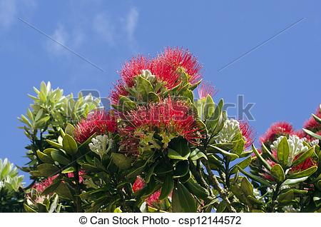 Picture of Pohutukawa flower.