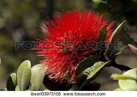 Stock Image of Lehua flower (Metrosideros polymorpha), Big Island.